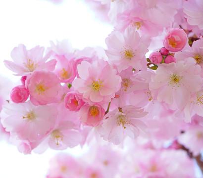 Japanische Blüten-Kirsche 'Amanogawa'