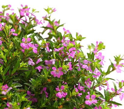 Japanische myrte dehner garten center for Japanische pflanzen