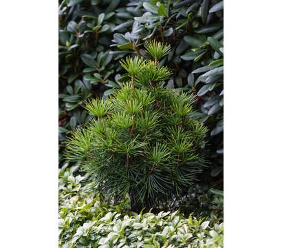 japanische pflanzen kaufen japanische pflanzen winterhart nowaday garden japanische pflanzen. Black Bedroom Furniture Sets. Home Design Ideas
