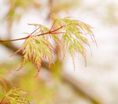 Japanischer Fächer-Ahorn 'Emerald Lace'