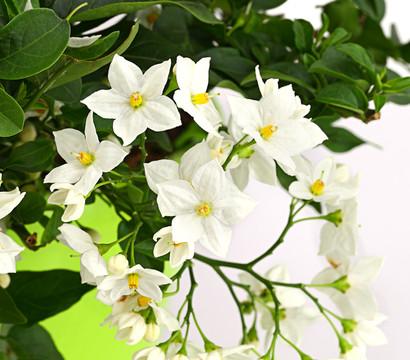 Jasminbl tiger nachtschatten ampel dehner garten center for Halbschattige balkonpflanzen