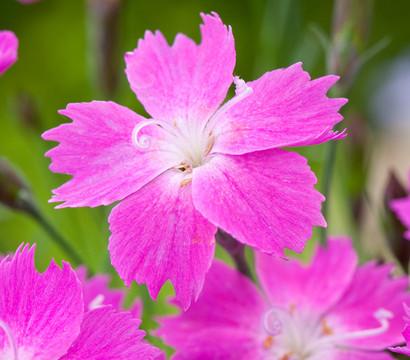 Kahori nelke pink feder nelke dehner garten center - Duftende gartenpflanze ...