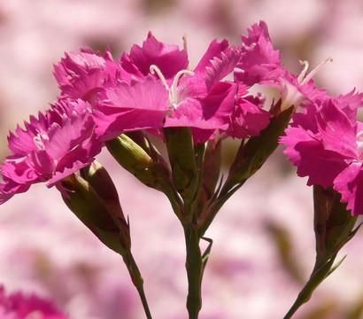 Kahori-Nelke, pink - Feder-Nelke
