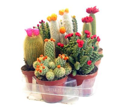 kaktus mit strohbl te dehner garten center. Black Bedroom Furniture Sets. Home Design Ideas