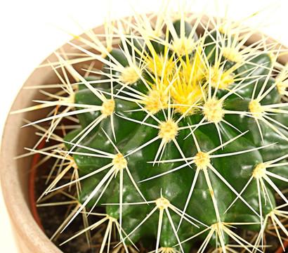 kaktus sortenmix in keramik dehner garten center. Black Bedroom Furniture Sets. Home Design Ideas