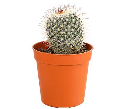 kaktus sortenmix dehner garten center. Black Bedroom Furniture Sets. Home Design Ideas