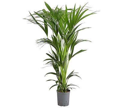Kentia-Palme, Hydrokultur