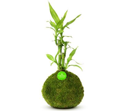 Kibonu 'Bamboo'