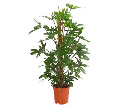 Kletternder Philodendron