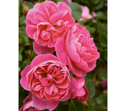 K Letter In Rose Kletterrose 'Allegro®': Dehner Garten Center