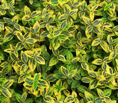 Kletter-Spindelstrauch 'Emerald'n Gold'
