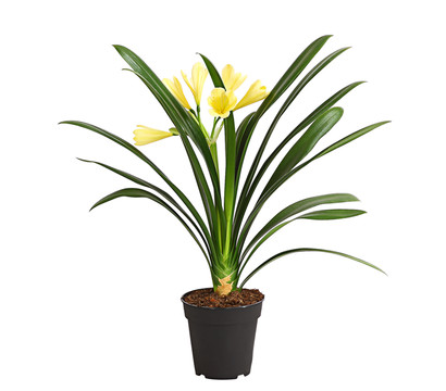 Klivie 'Yellow Star'