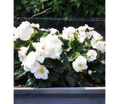 Knollenbegonie dehner garten center for Halbschattige balkonpflanzen