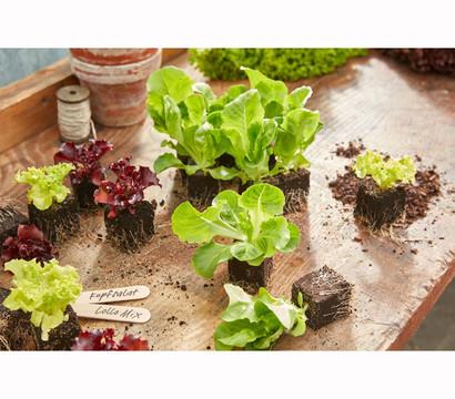 Kopfsalat pflanzen