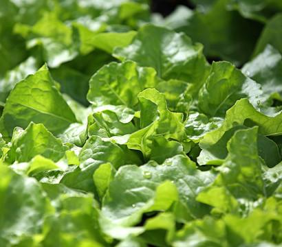 Salat pflanzen bestellen