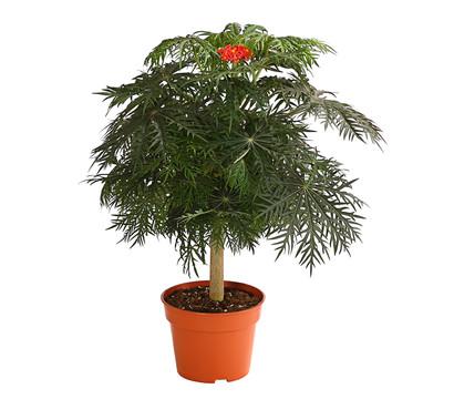 Korallenbaum - Korallen-Pugiernuss