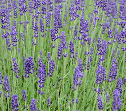 Lavendel : Dehner Garten Center Positive Wirkung Lavendel Pflege