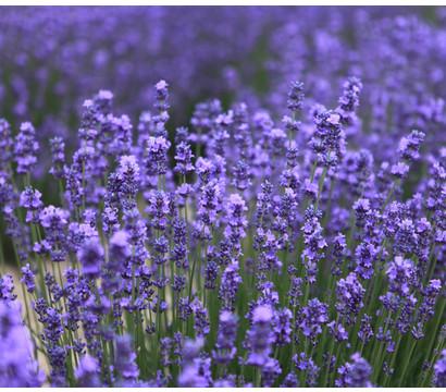 Lavendel 'Essence Purple'