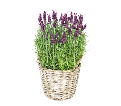 Lavendel im Korb