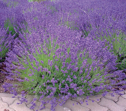 Lavendel 'Royal Blue'