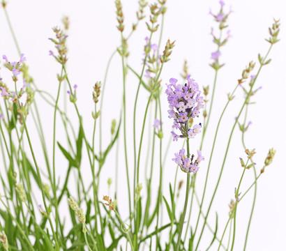 Lavendel 'Twickle Purple'