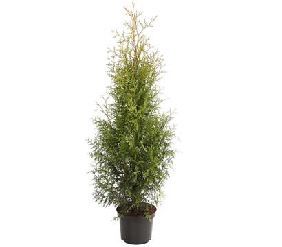 Lebensbaum 'Brabant'