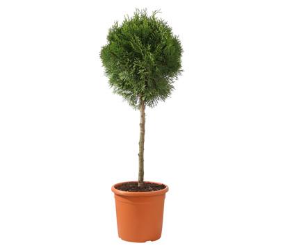Lebensbaum 'Smaragd' - Fußstamm
