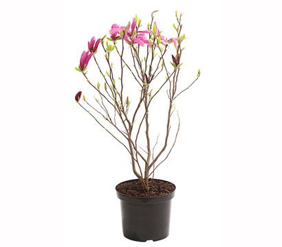 magnolie 39 susan 39 dehner garten center. Black Bedroom Furniture Sets. Home Design Ideas