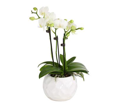 Midi-Schmetterlingsorchidee, 4-Trieber, im Keramiktopf