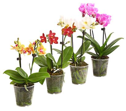 Midi-Schmetterlingsorchidee, verschiedene Sorten