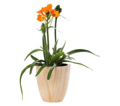 milchstern orange dehner garten center. Black Bedroom Furniture Sets. Home Design Ideas