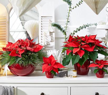 mini weihnachtsstern rot dehner garten center. Black Bedroom Furniture Sets. Home Design Ideas