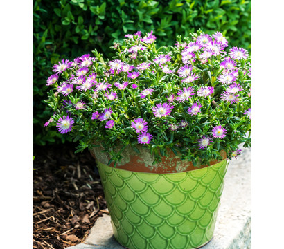 Mittagsblume 'Wheels of Wonder® Violet Wonder'
