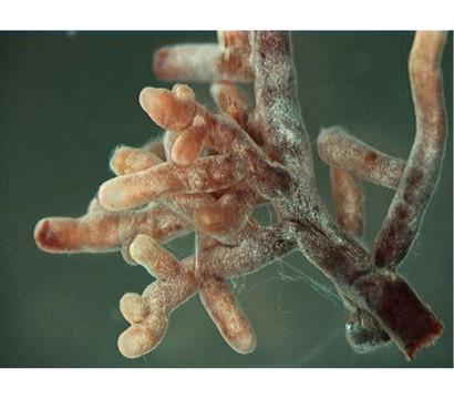 mykorrhiza granulat 60 g dehner garten center. Black Bedroom Furniture Sets. Home Design Ideas