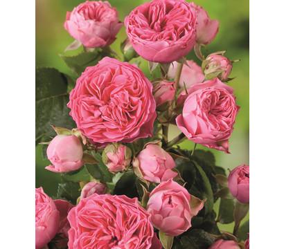 Noblesse® Spray-Rose 'Candy Rokoko'®