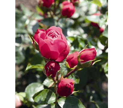 Noblesse® Spray-Rose 'Magic Rokoko'®