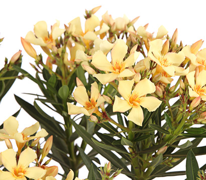 oleander busch dehner garten center. Black Bedroom Furniture Sets. Home Design Ideas