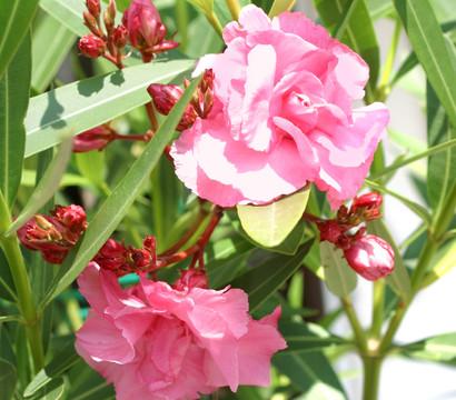 oleander solit rbusch mix dehner garten center. Black Bedroom Furniture Sets. Home Design Ideas
