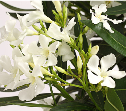 oleander solit rbusch dehner garten center. Black Bedroom Furniture Sets. Home Design Ideas