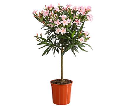 oleander st mmchen dehner garten center. Black Bedroom Furniture Sets. Home Design Ideas
