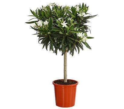 Oleander, Stämmchen