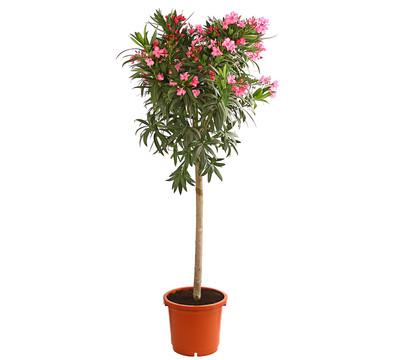 Oleander, verschiedene Sorten