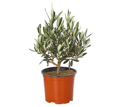 Olive, Busch