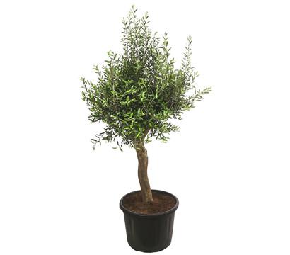 Olivenbaum XXL