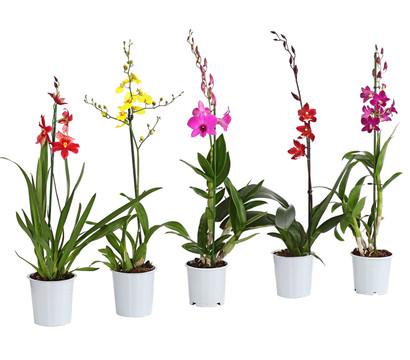 Orchidee, 1-Trieber, Sortenmix
