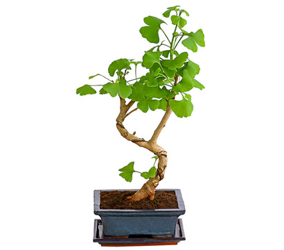 Outdoor-Bonsai - Ginkgobaum