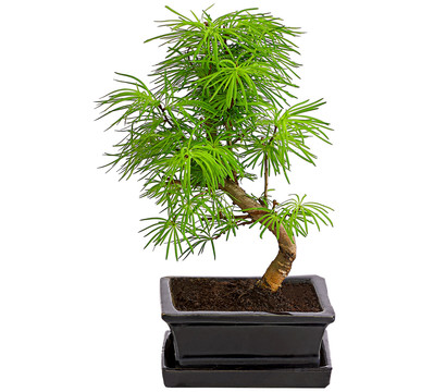 Outdoor-Bonsai - Goldlärche
