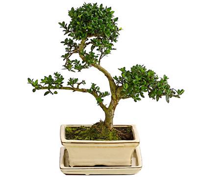 Outdoor-Bonsai - Japanische Stechpalme