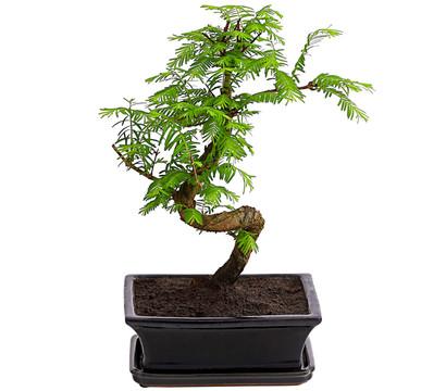 Outdoor-Bonsai - Urweltmammutbaum