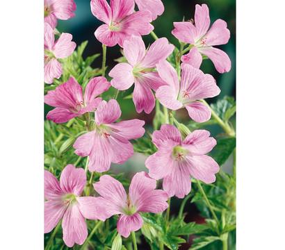 Oxford-Storchschnabel 'Wargrave Pink'